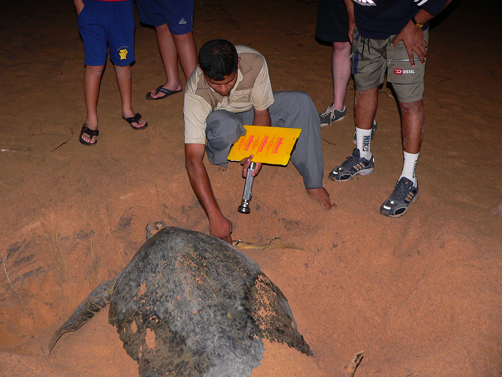 Work with sea turtles on the beach during your family volunteering holiday with VoluntEars