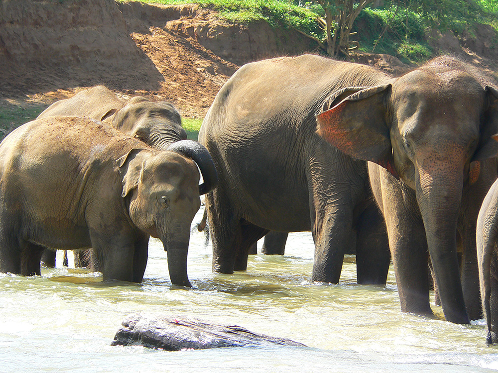 Come face-to-face with huge elephants during a VoluntEars family volunteering holiday in Sri Lanka